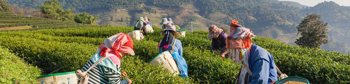 Discover Teas from the Tea Estates in Darjeeling