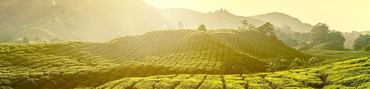 Discover Tea from Sri Lanka